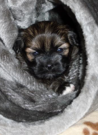Lhasa Apso Welpe im Tunnel
