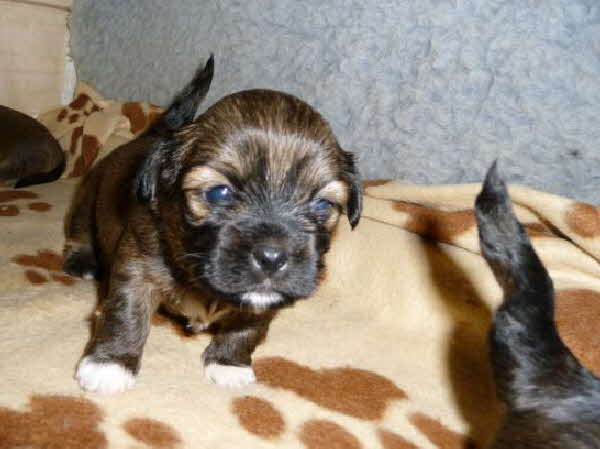 Lhasa Apso Welpe 4.1.-3