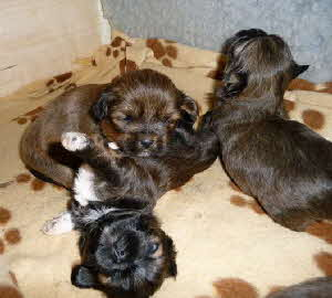 Lhasa Apso Welpe 4.1.-1