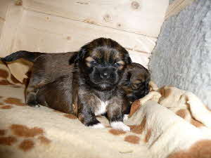 Lhasa Apso Welpe 4.1.-2
