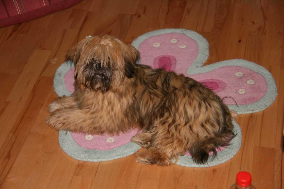 Lhasa Apso  Bilder unserer Hunde